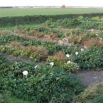 Saline agriculture Texel: an example transition project 2006-2010